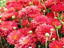 hoa cúc đỏ