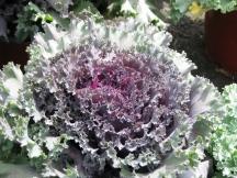 Bắp cải Kale