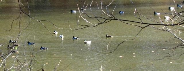 đàn vịt đầu xanh trên hồ Suprise