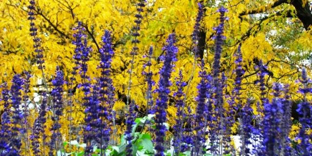 hoa tím lá vàng