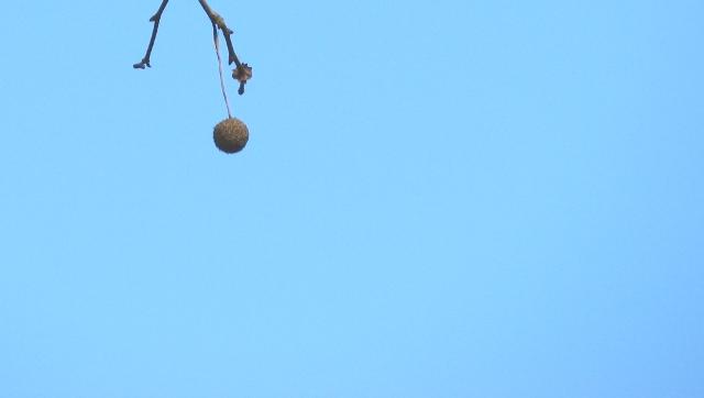 trái sycamore