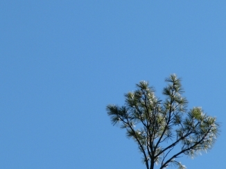 Ngọn cây thông (pine)