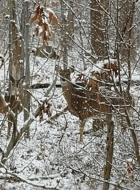 nai trong rừng tuyết