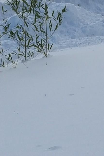 trúc vùi trong tuyết