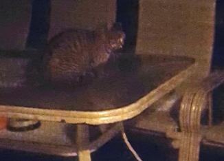 tabby ngồi trên bàn