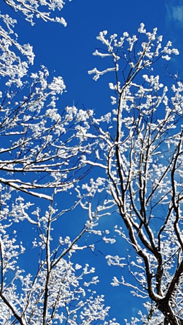 Tuyết trắng trên cành vọng trời xanh