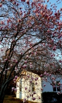 cây mộc lan nở xum xuê bên cạnh căn nhà nhỏ