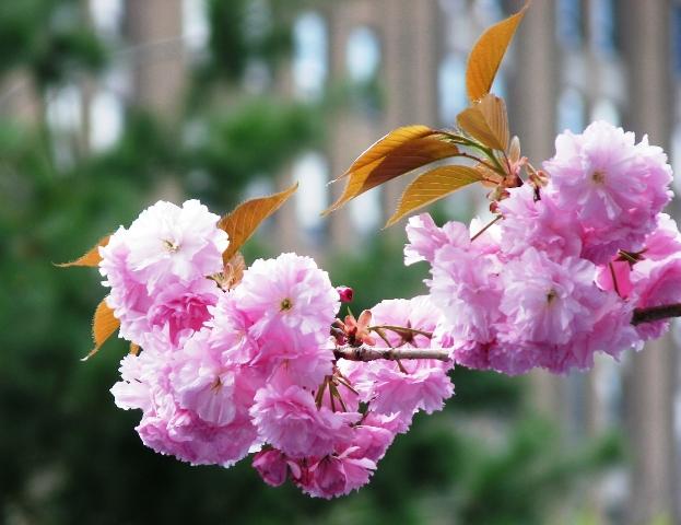 chùm hoa đào