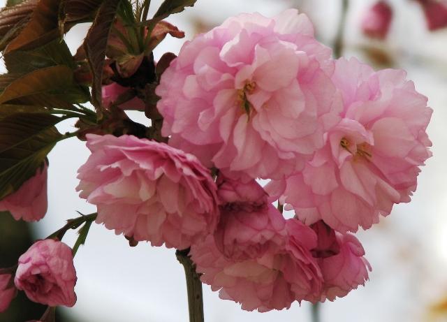 hoa đào kép