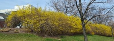Forsythia còn gọi là hoa đầu xuân, hay là mai Mỹ, mọc ở bên hông nhà hát thành phố Newark gần trạm xe điện light rail trên một triền dốc