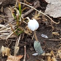 Hoa trắng bé như hạt đậu, nở rải rác nhiều nơi có khi được ba bốn hoa, dọc theo những kẻ hở giữa đá. Nhụy màu vàng, giống như một đóa crocus tí hon.