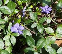 Mọc thành từng bãi rộng những nơi ít đá và có ánh mặt trời. Lá nhiều hơn hoa có vẻ như là một loại ground cover.