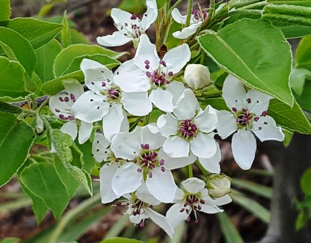 hoa lê dại