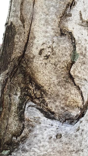 vỏ cây beech