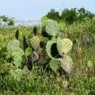 Xương rồng bàn chải của Texas