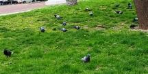 Buổi trưa đi bộ đến công viên Washington tôi thấy đàn bồ câu ăn sâu bọ trên sân cỏ đã bị loại cỏ dại bồ công anh lấn chiếm tràn lan. Đám bồ câu bay lên đáp xuống mấy lần tôi chụp không kịp nên cố gắng chụp ảnh đàn chim vụt bay lên mà chị chộp được đàn chim đậu.