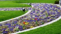 Hoa viola hay violet trồng trong bồn chìm trong sân cỏ trước tượng đài của công viên quân đội. Thường thì loại hoa này không có mùi thơm, tôi vẫn nghĩ thế, tuy nhiên, không biết sau này người ta có ghép loại hay không mà nó có hương thơm ngào ngạt. Đứng xa hàng chục mét mà vẫn ngửi thấy hương hoa ngan ngát.