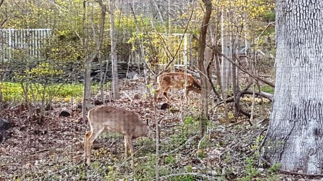 đàn nai ở rừng sau nhà, sau lưng là hoa đầu xuân lác đác vàng