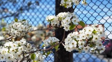 đào trắng bên cạnh hàng rào