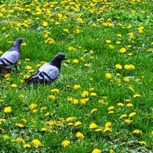 Đôi tình nhân bồ câu đang đưa nhau đi trên thảm cỏ hoa vàng.