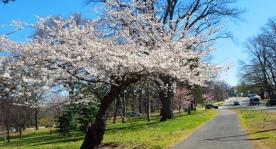 cây đào trắng trên đường vào công viên Branch Brook