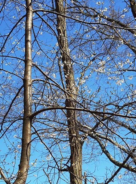 cây cherry trước nhà điểm hoa trắng lấm tấm