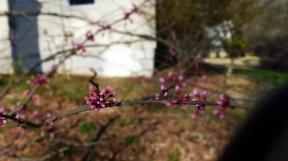 Cây eastern redbud trước nhà nở hoa lưa thưa