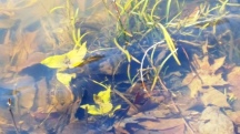 Cỏ rong bắt đầu mọc lại dưới hồ