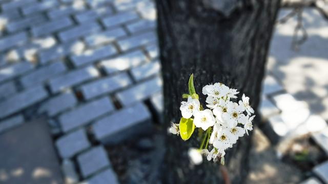 Cụm đào trắng nở trên gốc cây gần với mặt đường