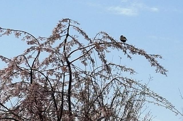 chim đậu ngọn đào
