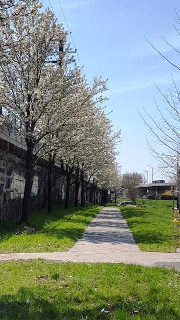 hàng đào trắng cạnh đường xe lửa