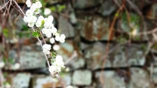 hoa nút áo