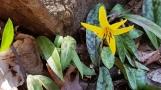 Hoa cúi đầu, vâng dạ, nên gọi là hoa vâng.