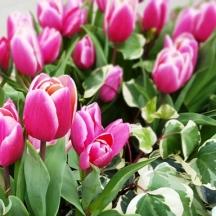 Khắp công viên, đi đâu cũng thấy hoa tulips màu tím mới được trồng ở công viên quân đội.