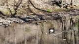 Chỉ còn một con ngỗng Canada lẻ loi. Bầy đàn của nó hình như bay về xứ hết rồi.