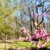 """redbud trước nhà, hoa nhỏ cỡ hạt bắp nhỏ khi đã """"chín muồi."""""""