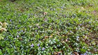 Sân đầy hoa tím