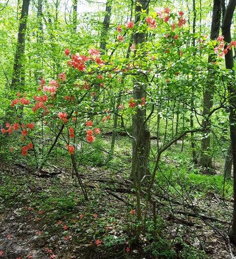 azalea mọc hoang trong rừng