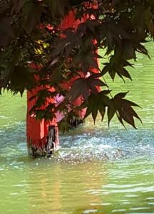 đàn cá black koy dưới chân torii