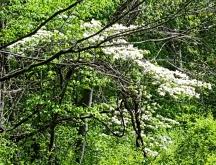 cây dogwood mọc hoang trong rừng
