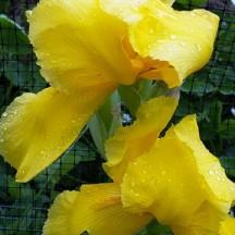 diên vỹ vàng đã nở bung bị mưa