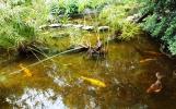 Hồ cá koi có xây đá thành cái cầu đá để người đi xem có thể bước lượn qua cầu trong hồ.