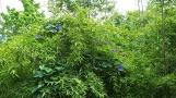 Vài đóa hoa Morning-Glory màu xanh thẫm điểm sáng vườn trúc. Có phải đây là hoa nụ tầm xuân nở ra xanh biếc không?