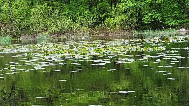 hoa súng bắt đầu mọc mạnh trở lại trong hồ Surprise