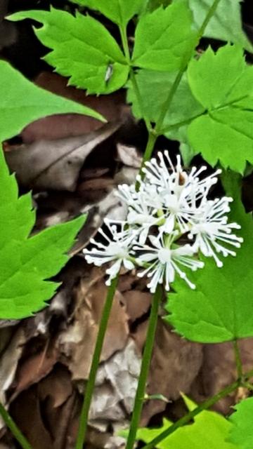 hoa trắng lá răng cưa
