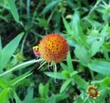 Hoa rụng cánh hết còn lại cái lõi giống như quả chôm chôm