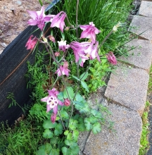 một loại hoa lạ mọc bên hàng rào nhà người ta