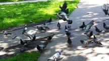 tôi lấy gạo đem đến công viên cho bồ câu ăn