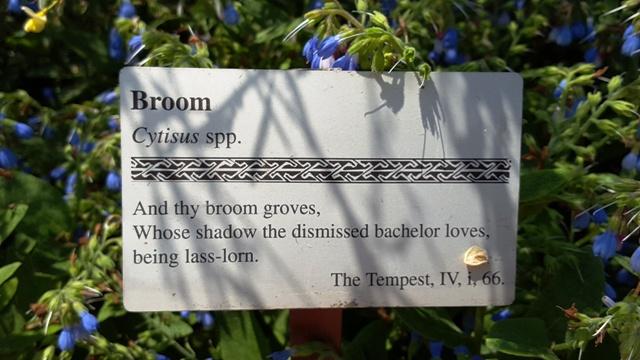 Hoa broom, vườn hoa broom của người, chàng trai bị bỏ rơi yêu thích bóng tỏa của nó, vì vẻ cô đơn.