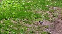 chim robin, mùa này rất nhiều, tung tăng ở sân cỏ nhặt côn trùng.